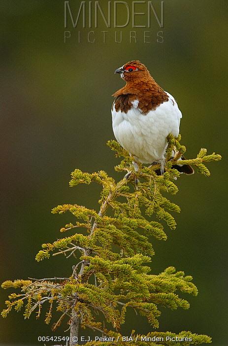 Willow Ptarmigan (Lagopus lagopus), Manitoba, Canada  -  E.J. Peiker/ BIA