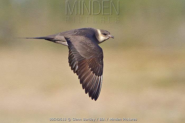 Arctic Skua (Stercorarius parasiticus) flying, Manitoba, Canada  -  Glenn Bartley/ BIA