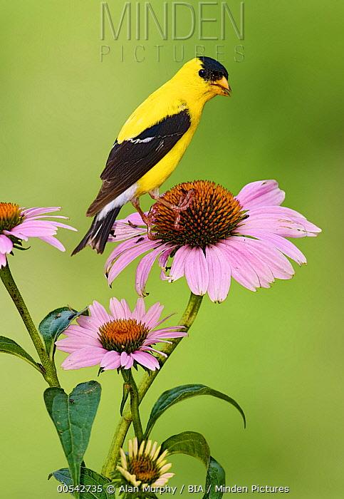 American Goldfinch (Carduelis tristis) male, Kentucky  -  Alan Murphy/ BIA
