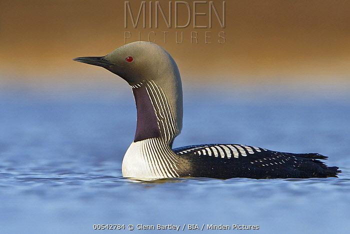 Pacific Loon (Gavia pacifica) on water, Manitoba, Canada  -  Glenn Bartley/ BIA