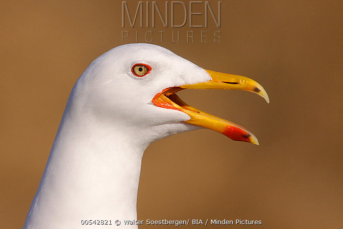 Herring Gull (Larus argentatus) calling, Utrecht, Netherlands  -  Walter Soestbergen/ BIA