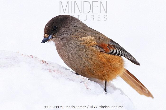 Siberian Jay (Perisoreus infaustus) in snow, Finland  -  Dennis Lorenz/ BIA