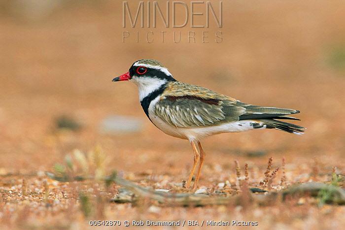 Black-fronted Dotterel (Elseyornis melanops), Victoria, Australia  -  Rob Drummond/ BIA