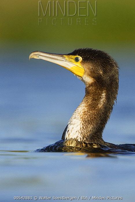 Great Cormorant (Phalacrocorax carbo) sub-adult swimming, Utrecht, Netherlands  -  Walter Soestbergen/ BIA