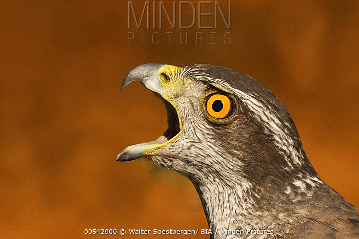 Northern Goshawk (Accipiter gentilis) male calling, Utrecht, Netherlands  -  Walter Soestbergen/ BIA