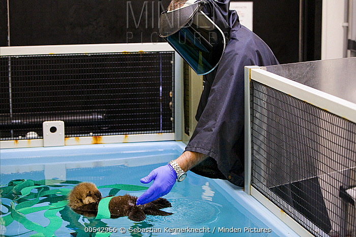 Sea Otter (Enhydra lutris) researcher Karl Mayer bathing rescued pup while wearing disguise to dissociate the care it receives from humans, Monterey Bay Aquarium, Monterey Bay, California  -  Sebastian Kennerknecht