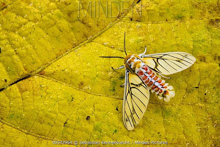 Tiger Moth (Balacra rubrostriata) showing aposematic coloration, Kibale National Park, western Uganda  -  Sebastian Kennerknecht