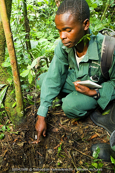 Anti-poaching snare removal team member, Godfrey Nyesiga, pointing to illegally set foot snare, Kibale National Park, western Uganda  -  Sebastian Kennerknecht