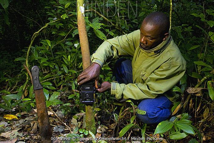 African Golden Cat (Profelis aurata) researcher, Sam Isoke, placing camera trap on tree, Kibale National Park, western Uganda  -  Sebastian Kennerknecht