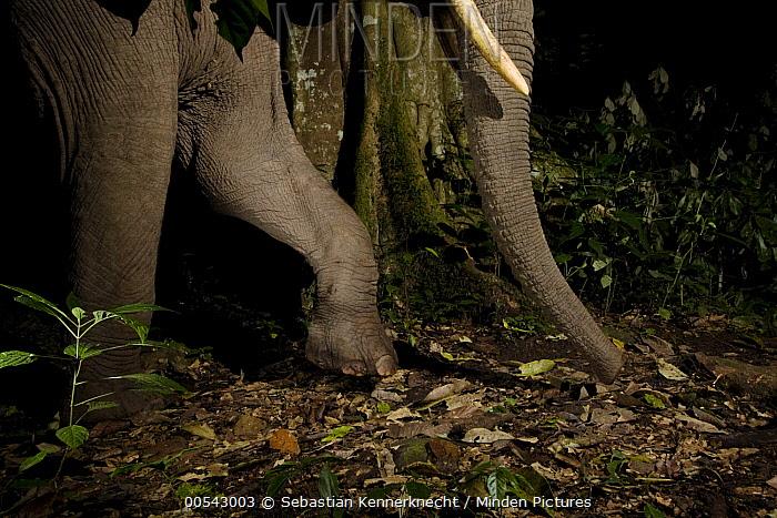 African Elephant (Loxodonta africana) walking through rainforest at night, Kibale National Park, western Uganda  -  Sebastian Kennerknecht