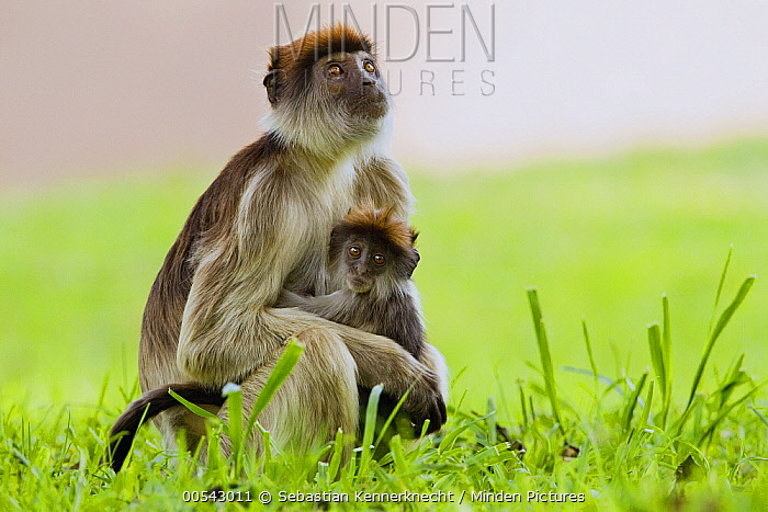Eastern Red Colobus (Procolobus rufomitratus) mother and young, Kibale National Park, western Uganda  -  Sebastian Kennerknecht