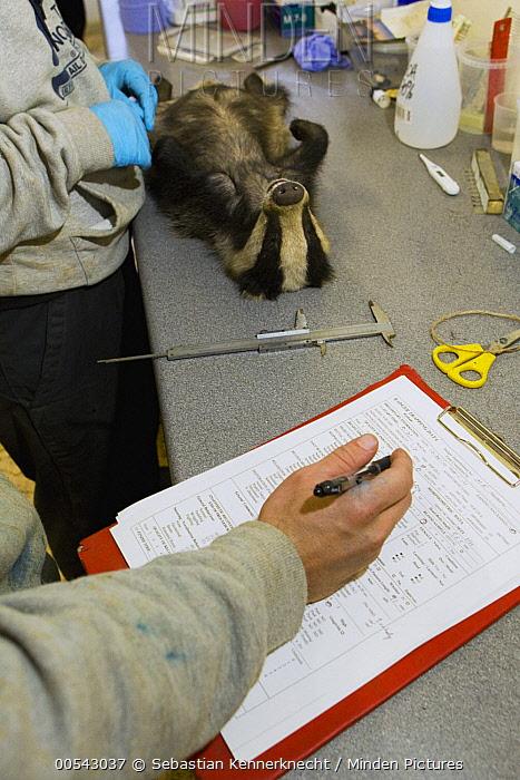 Eurasian Badger (Meles meles) biologist, Chris Newman, taking down data of cub during medical examination, Wytham Woods, England, United Kingdom  -  Sebastian Kennerknecht
