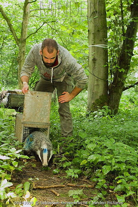 Eurasian Badger (Meles meles) biologist, Michael Noonan, releasing female after medical examination, Wytham Woods, England, United Kingdom  -  Sebastian Kennerknecht