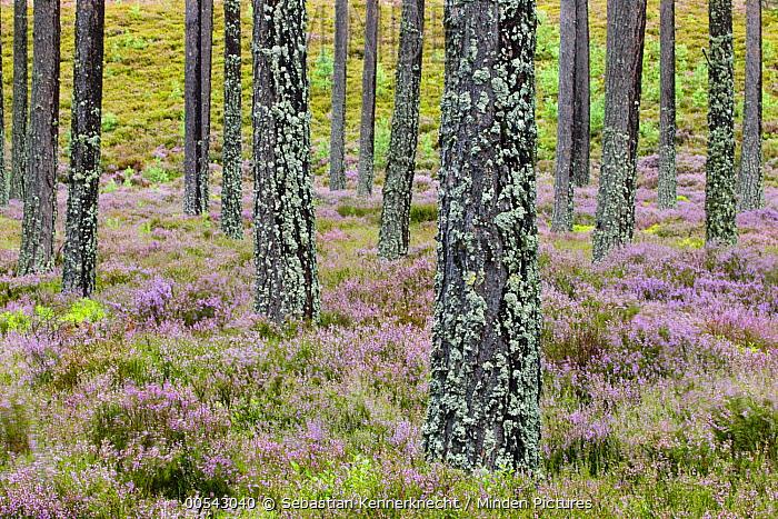 Pine (Pinus sp) forest and Heather (Calluna vulgaris), Scottish Highlands, Cairngorms National Park, Scotland, United Kingdom  -  Sebastian Kennerknecht