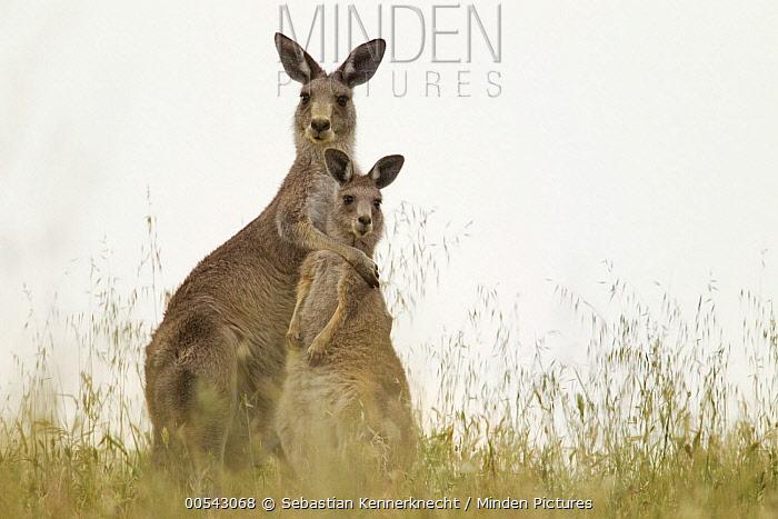 Eastern Grey Kangaroo (Macropus giganteus) mother hugging joey, Mount Taylor Nature Reserve, Canberra, Australian Capital Territory, Australia  -  Sebastian Kennerknecht