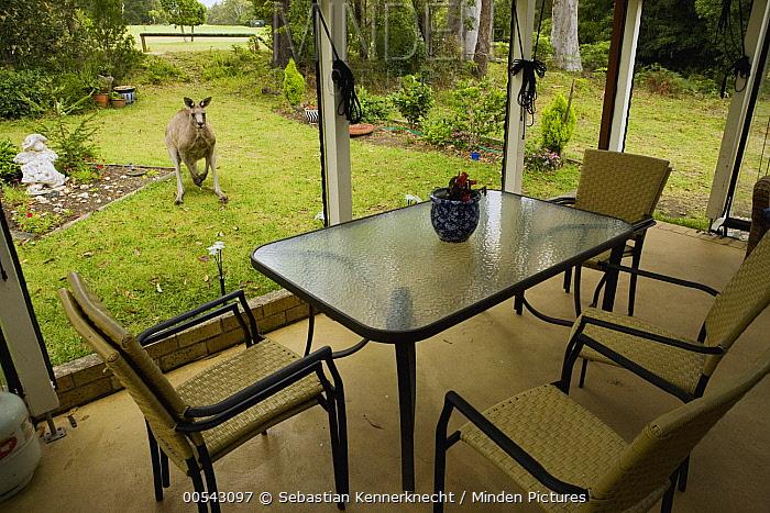 Eastern Grey Kangaroo (Macropus giganteus) male in backyard, Jervis Bay, New South Wales, Australia  -  Sebastian Kennerknecht