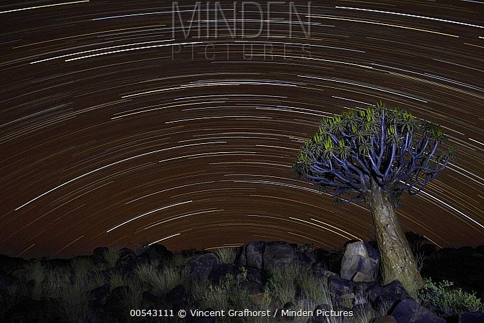 Quiver Tree (Aloe dichotoma) and star trails, Keetmanshoop, Namibia  -  Vincent Grafhorst