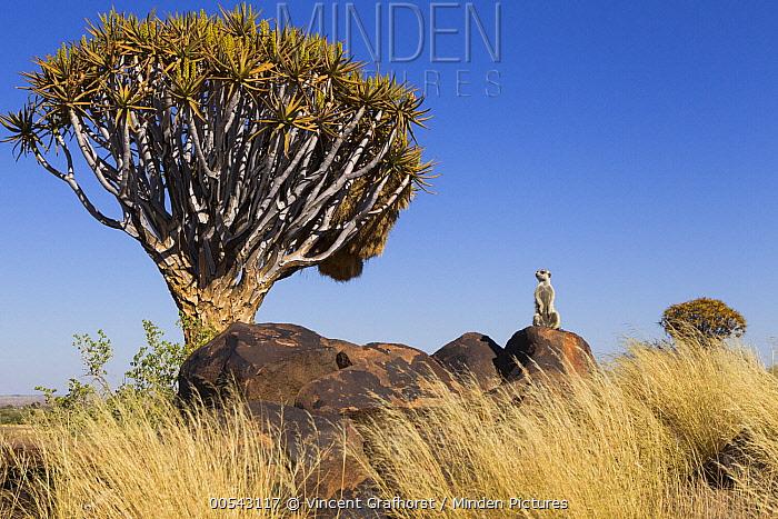 Meerkat (Suricata suricatta) on boulder in Quiver Tree (Aloe dichotoma) grassland, Keetmanshoop, Namibia  -  Vincent Grafhorst