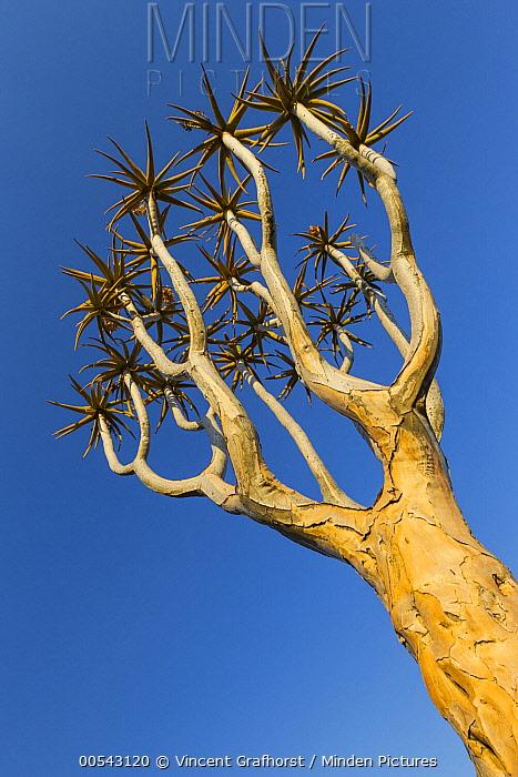 Quiver Tree (Aloe dichotoma), Keetmanshoop, Namibia  -  Vincent Grafhorst