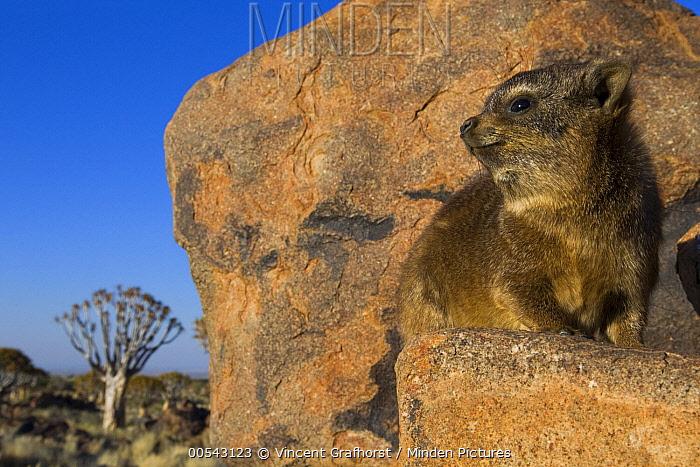 Rock Hyrax (Procavia capensis) juvenile in Quiver Tree (Aloe dichotoma) grassland, Keetmanshoop, Namibia  -  Vincent Grafhorst