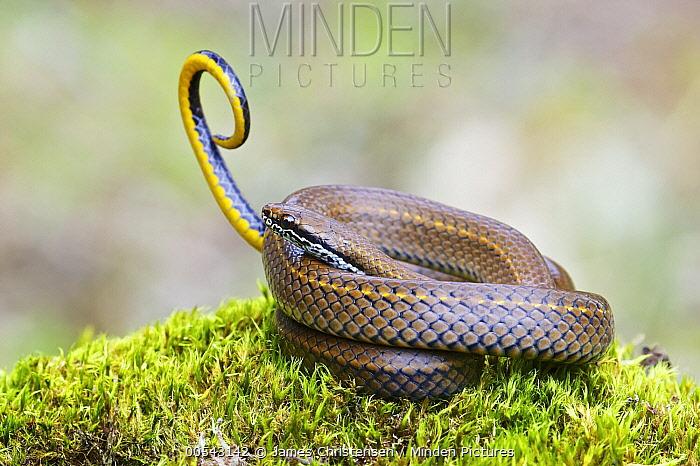 Spotted Genuine-Snake (Saphenophis boursieri) waving tail in defensive display, Hacienda San Vicente, Mindo, Ecuador  -  James Christensen