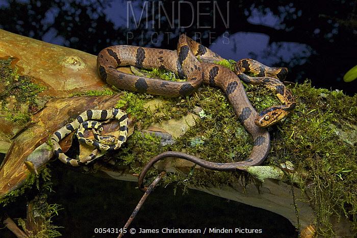 Andean Snail-eater (Dipsas andiana) female and young, Mindo, Ecuador  -  James Christensen