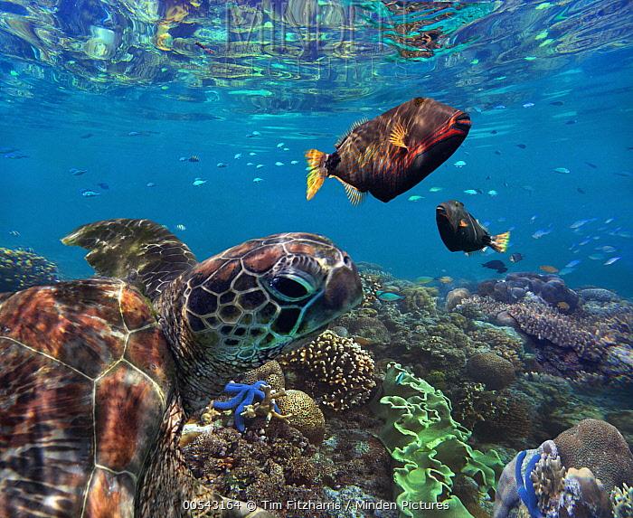 Green Sea Turtle (Chelonia mydas) and Orange-striped Triggerfish (Balistapus undulatus), Apo Island, Philippines  -  Tim Fitzharris