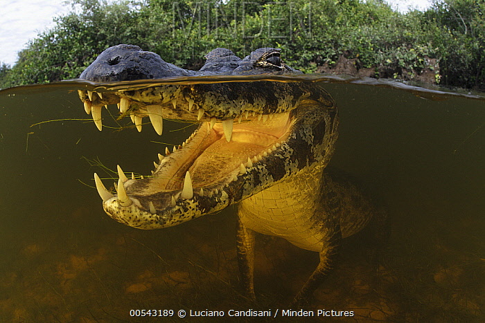 Jacare Caiman (Caiman yacare) waiting for fish to swim through open mouth in wetland, Pantanal, Brazil  -  Luciano Candisani