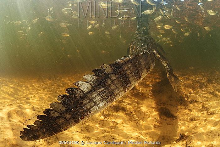 Jacare Caiman (Caiman yacare) swimming away, wetland, Pantanal, Brazil  -  Luciano Candisani