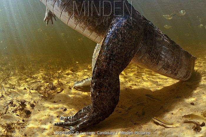 Jacare Caiman (Caiman yacare) standing on bottom of wetland, Pantanal, Brazil  -  Luciano Candisani