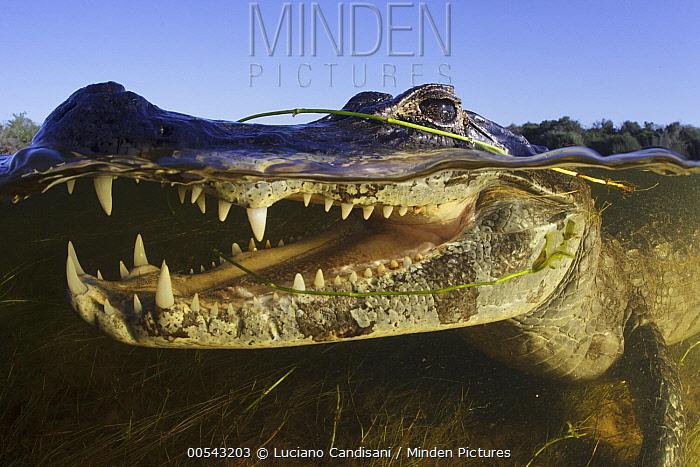 Jacare Caiman (Caiman yacare) fishing, Pantanal, Brazil  -  Luciano Candisani