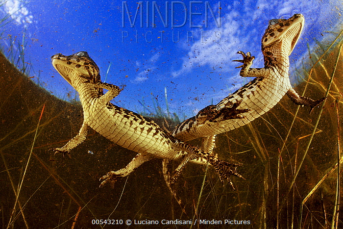 Jacare Caiman (Caiman yacare) two weeks old young in wetland, Pantanal, Brazil  -  Luciano Candisani