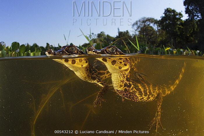 Jacare Caiman (Caiman yacare) young in wetland, Pantanal, Brazil  -  Luciano Candisani