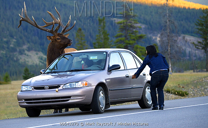 Elk (Cervus elaphus) bull approaching car and tourist in territorial display, North America, sequence 2 of 3  -  Mark Raycroft