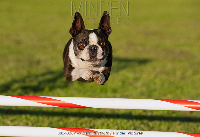 Boston Terrier (Canis familiaris) jumping  -  Mark Raycroft