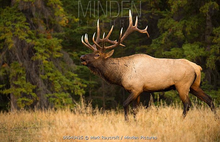 Elk (Cervus elaphus) bull calling in defensive display, North America  -  Mark Raycroft