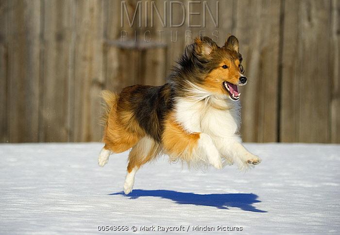 Shetland Sheepdog (Canis familiaris) running  -  Mark Raycroft