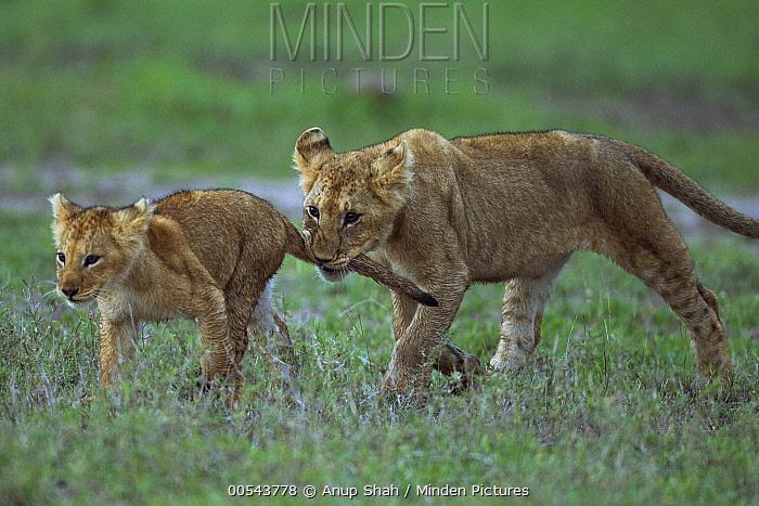 African Lion (Panthera leo) yearling cub playing with younger cub, biting its tail, Masai Mara, Kenya  -  Anup Shah