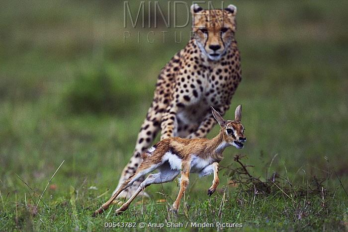 Cheetah (Acinonyx jubatus) one year old cub chasing Thomson's Gazelle (Eudorcas thomsonii) fawn, Masai Mara, Kenya. Sequence 4 of 5  -  Anup Shah
