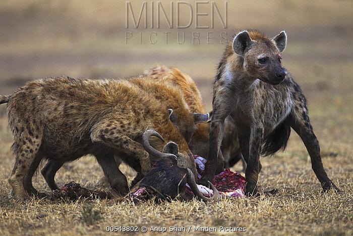 Spotted Hyena (Crocuta crocuta) group feeding on kill, Masai Mara, Kenya  -  Anup Shah