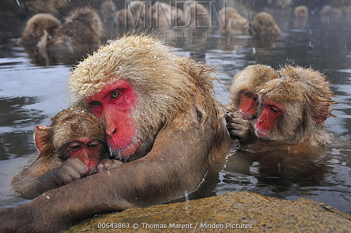 Japanese Macaque (Macaca fuscata) mother and young in hot spring with juveniles grooming, Jigokudani, Nagano, Japan  -  Thomas Marent