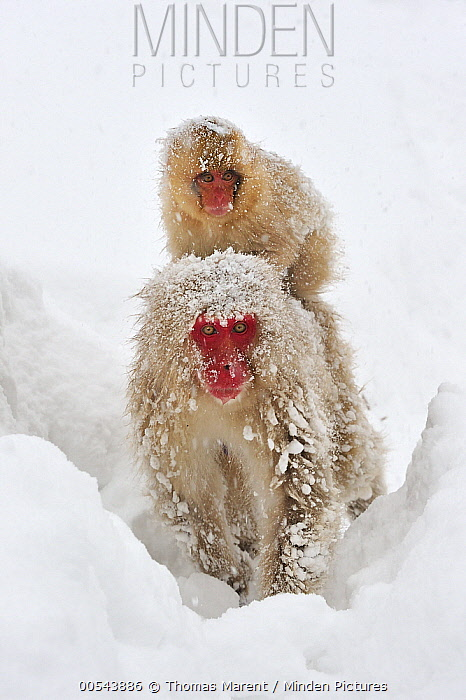 Japanese Macaque (Macaca fuscata) mother carrying baby through snow, Jigokudani, Nagano, Japan  -  Thomas Marent
