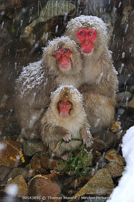 Japanese Macaque (Macaca fuscata) parents with baby, Jigokudani, Nagano, Japan  -  Thomas Marent