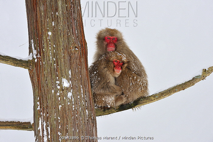 Japanese Macaque (Macaca fuscata) mother with young in tree, huddling for warmth, Jigokudani, Nagano, Japan  -  Thomas Marent