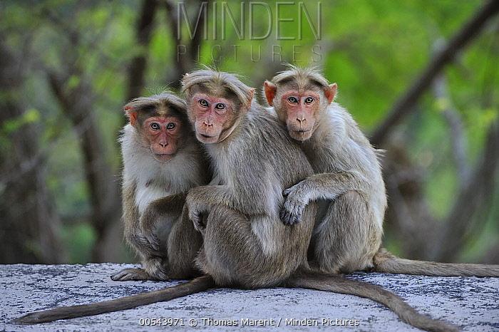 Bonnet Macaque (Macaca radiata) trio huddling, Western Ghats, India  -  Thomas Marent