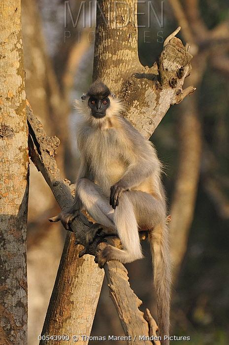 Capped Langur (Trachypithecus pileatus) in tree, Assam, India  -  Thomas Marent