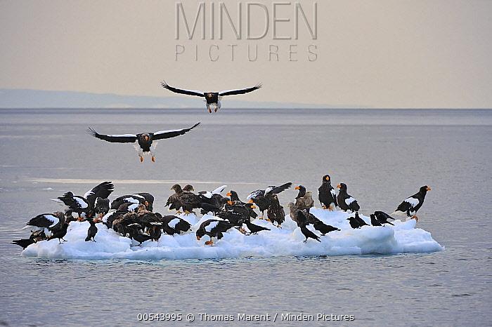 Steller's Sea Eagle (Haliaeetus pelagicus) group on ice floe, Rausu, Hokkaido, Japan  -  Thomas Marent