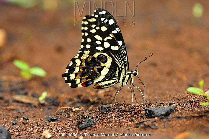 Citrus Butterfly (Papilio demodocus) drinking minerals and salts from soil, Jozani National Park, Zanzibar, Tanzania  -  Thomas Marent