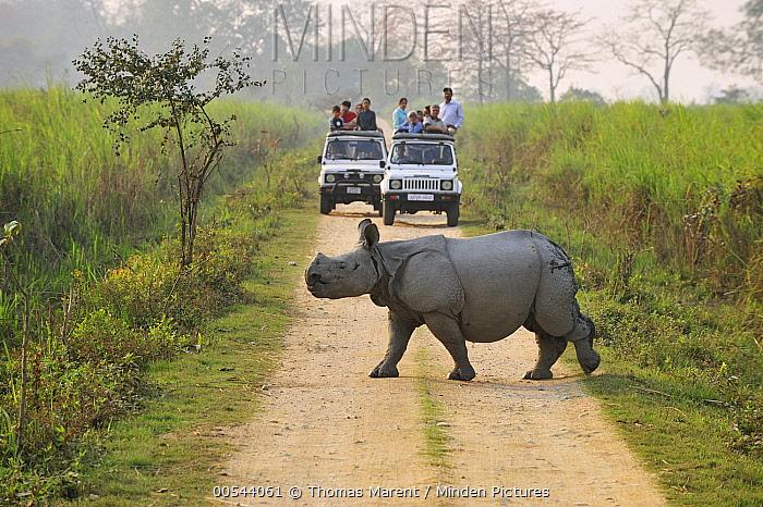 Indian Rhinoceros (Rhinoceros unicornis) crossing road near tourists, Kaziranga National Park, Assam, India  -  Thomas Marent