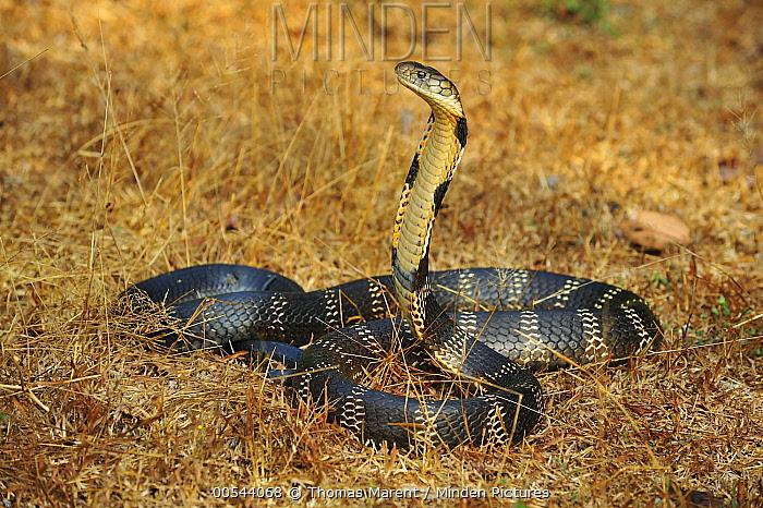 Minden Pictures stock photos - King Cobra (Ophiophagus